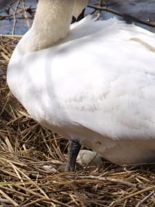 drittes Ei  am 8.April