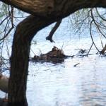 brütendender Haubentaucher bei Baum 41 - vermutlich drei Eier im Nest