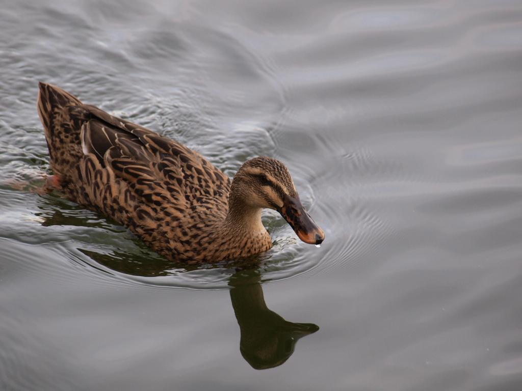Schabelente am Weißensee