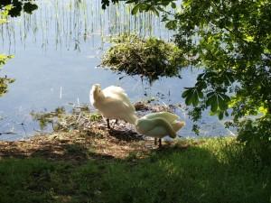 """schon am 15.Mai sind die Schwäne am """"alten Nest"""""""